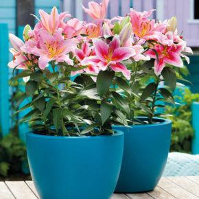 Lilies in Pots