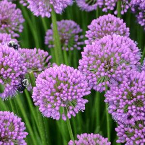 Millenium Allium