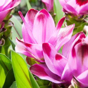 Sweet Rosy Curcuma