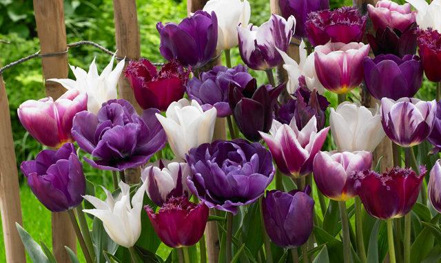 mixed purple tulps