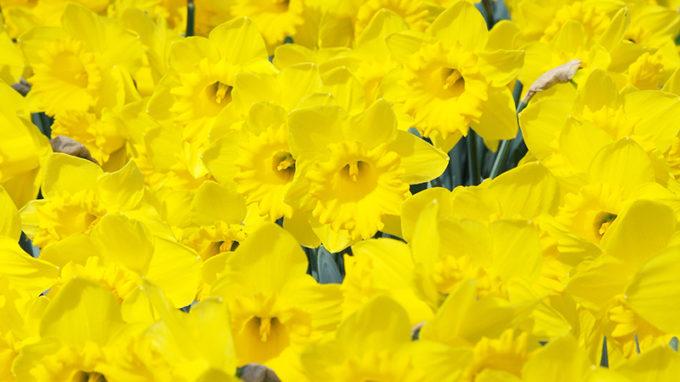 Dutch Master Daffodils