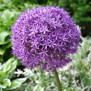 Giant Allium