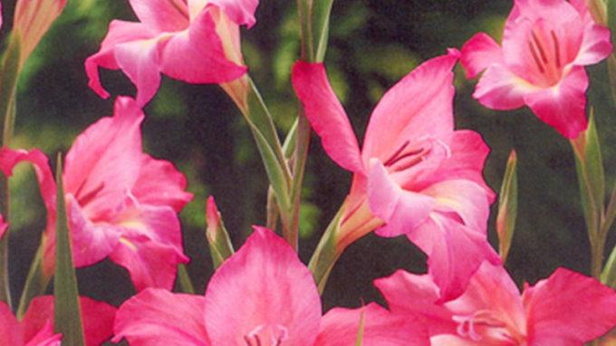 Charming Beauty Mini Gladiolus