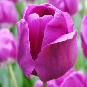 Negrita Triumph Tulip