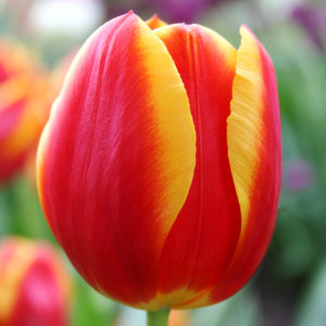 Flair Single Tulip