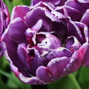 Double Purple Tulip