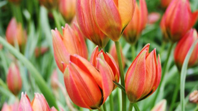 Little Princess Tulips