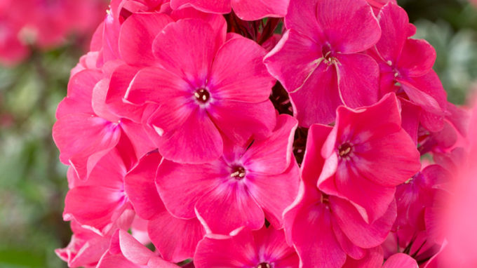 Watermelon Punch Phlox