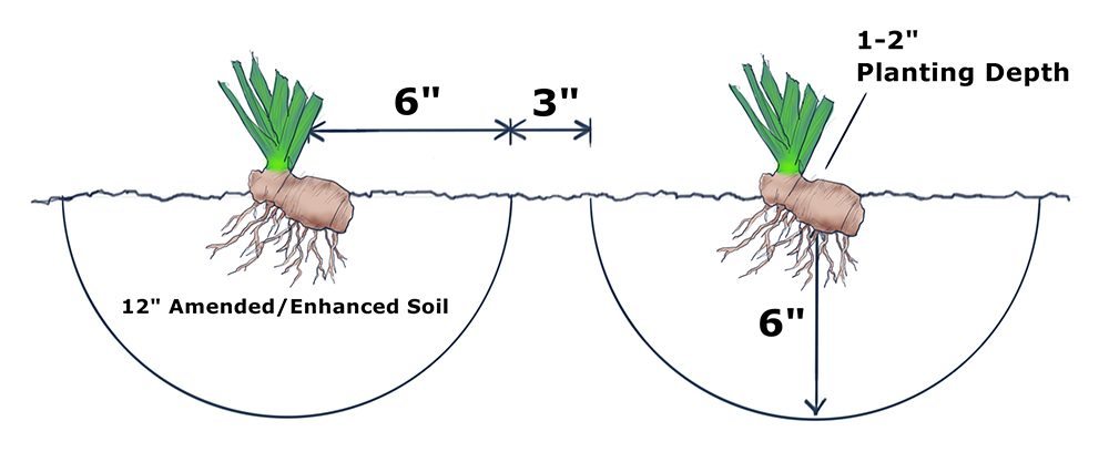 Bearded Iris Rhizomes Diagram