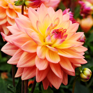 Extase Decorative Dahlia