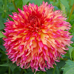 Myrtles Folly Dahlia