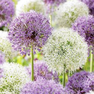Big Impact Allium