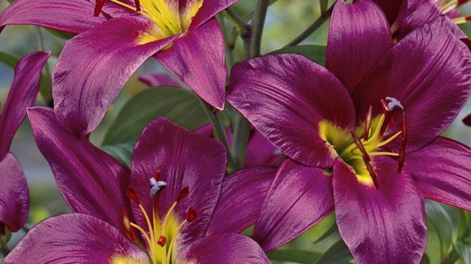 Purple Prince Orienpet Lilies