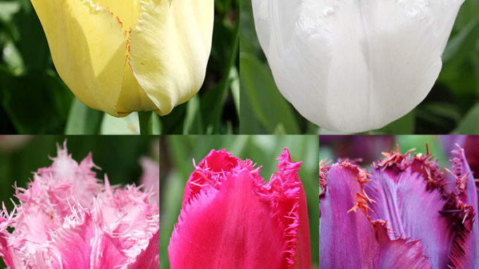 Fringed Tulip Collection