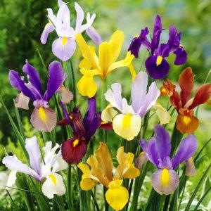 Mixed Dutch Iris