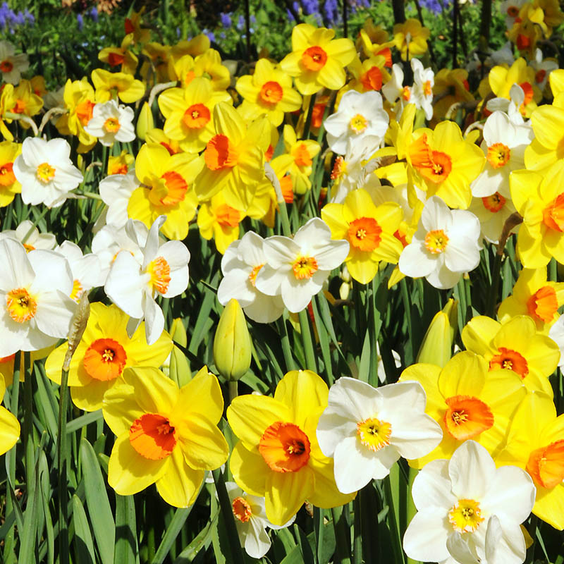 How To Grow Daffodils Planting And Care Tips Trumpet Double Mixed