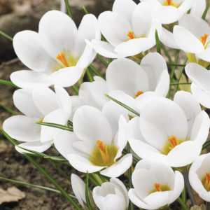 Snow White Crocus