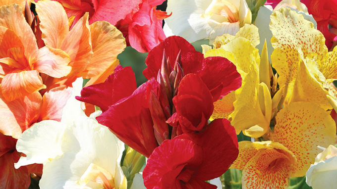 Mixed Canna Lilies