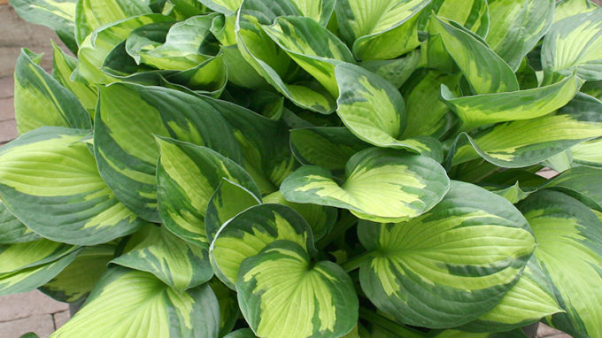 Beach Boy Hosta