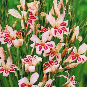 Impressive Mini Gladiolus