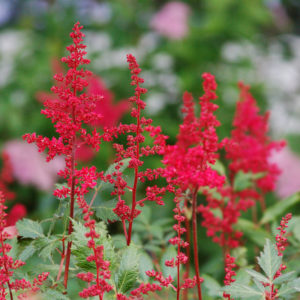 Fanal Red Astilbe