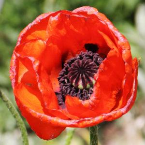 Turkenlouis Oriental Poppy