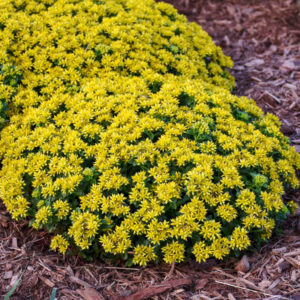 Little Miss Sunshine Sedum