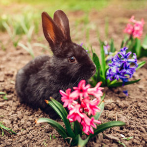 Rabbit and Hyacinths