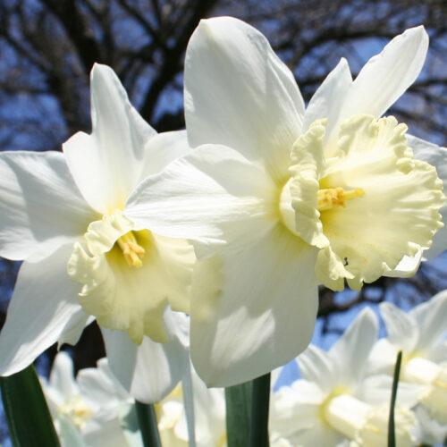 Mount Hood Daffodils
