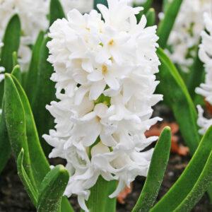 Aiolos Hyacinth