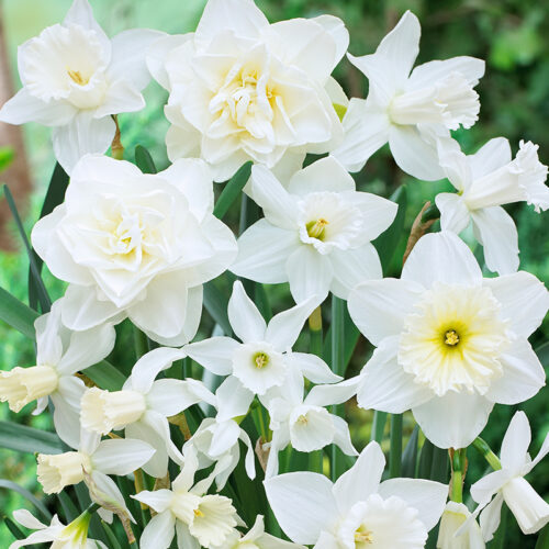 White Diamonds Daffodil Mix