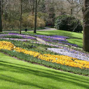 Tulips and Crocus Ground Cover