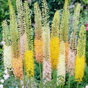 Foxtail Lily Mix