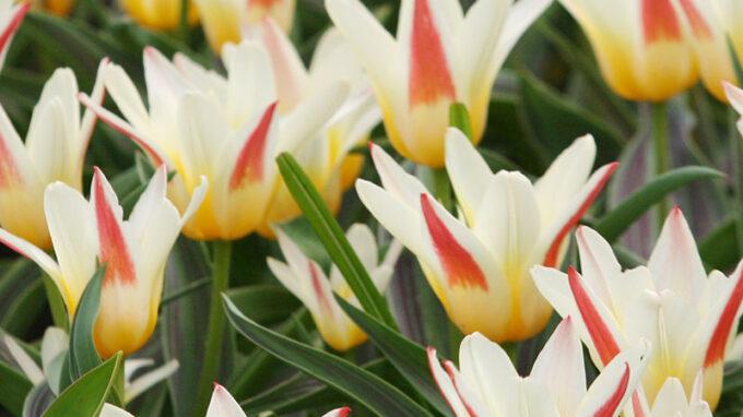 Johann Strauss Kaufmanniana Tulips