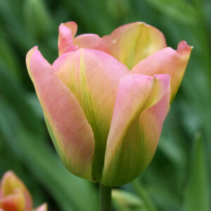 Groenland Green Tulip