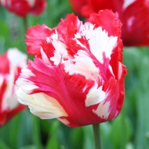 Destiny Parrot Tulip