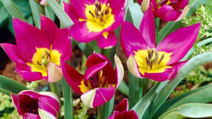 Persian Pearl Botanical Tulips