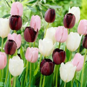 Night in Paris Tulip Mix