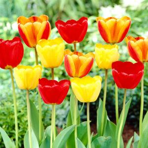 Happy Day Tulip Mix