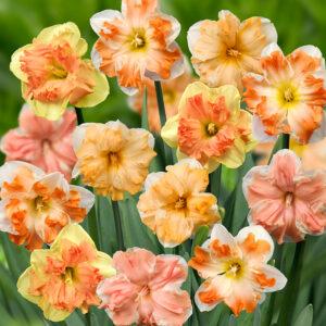 Rainbow Butterflies Daffodil Mix