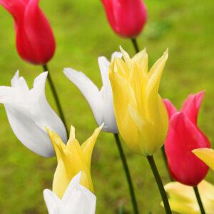 Elegant Lily Tulip Mix