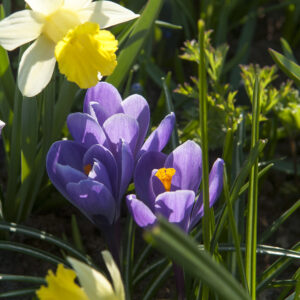 Golden Echo Daffodils with Grand Maitre Giant Crocus