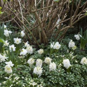 Ice Follies Daffodils with Aiolos Hyacinths