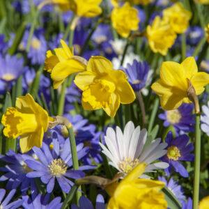 Yellow Daffodils & Grecian Windflowers
