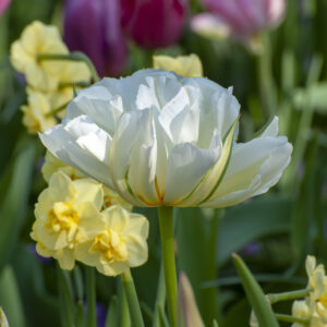 Yellow Cheerfulness Daffodils and Exotic Emperor Tulips