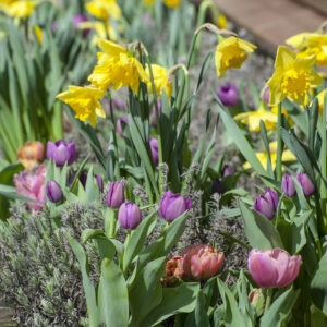 Fortune Daffodils with Purple Prince Tulips and Stunning Apricot Tulips