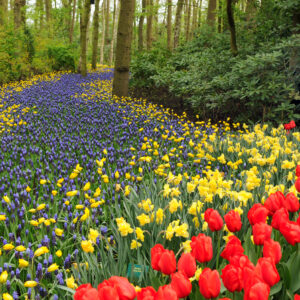 Yellow Daffodils with Grape Hyacinths and Red Impression Tulips