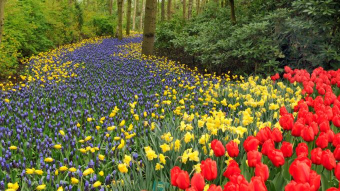 Yellow Daffodils, Red Tulips and Muscari