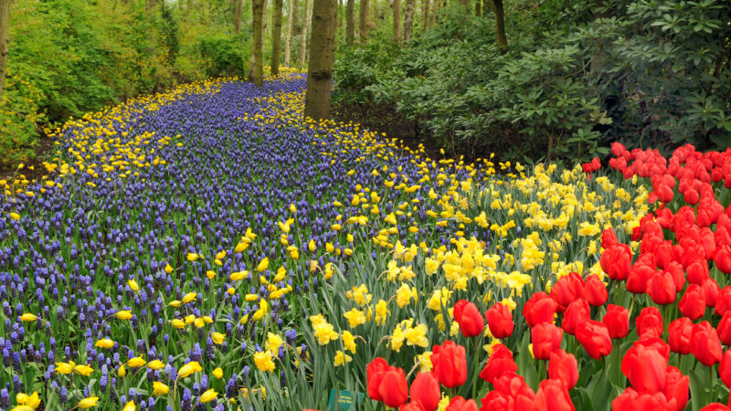 Yellow Daffodils, Red Tulips and Muscari