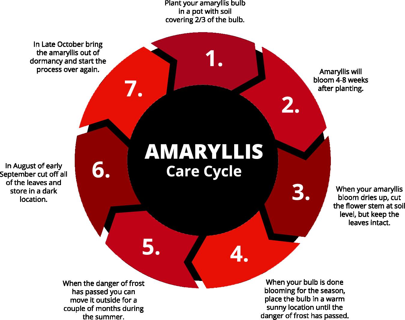 Amaryllis Care Cycle